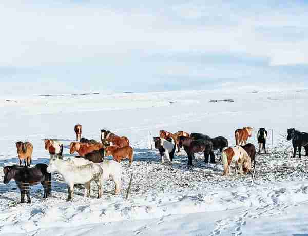 Winter landscape with Icelandic ponies
