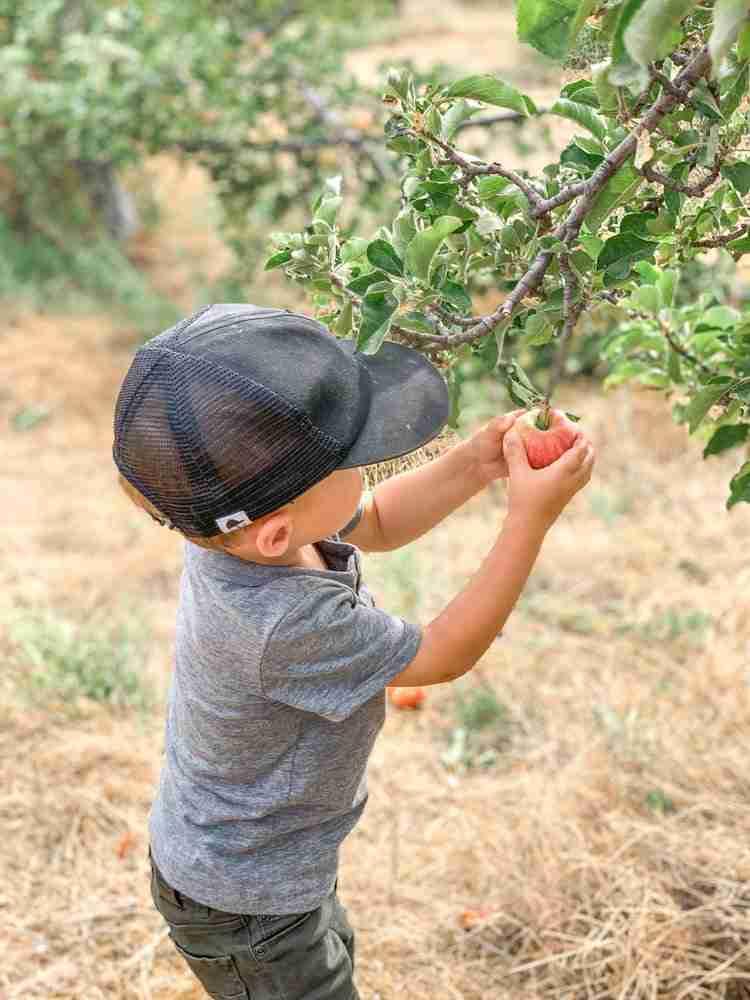Little boy picking an apple off a tree in Julian